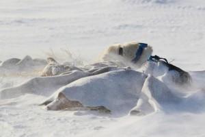 Hunder i snøstorm